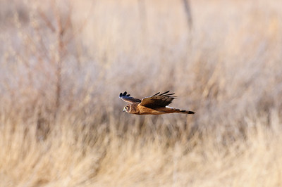 Northern Harrier-3830