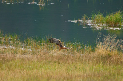 Northern Harrier-7087