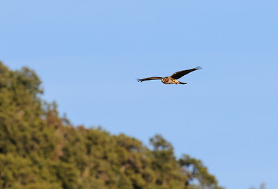 Northern Harrier-2653