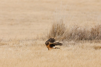 Northern Harrier-7276