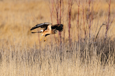 Northern Harrier-4253