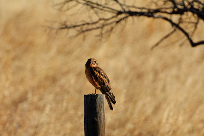 Northern Harrier-7148