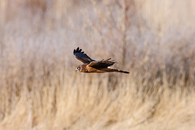 Northern Harrier-3831