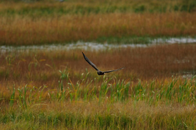 Northern Harrier-7129