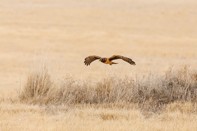 Northern Harrier-7253