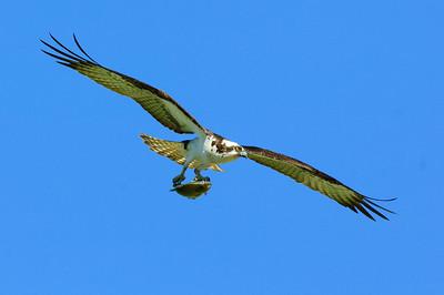 Osprey-253