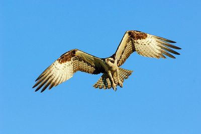 Osprey-174