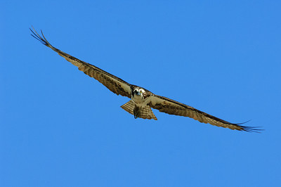 Osprey-275