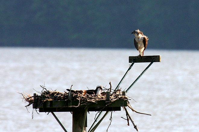 Osprey @ Alum Creek - Spring 2005