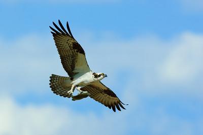 Osprey-254