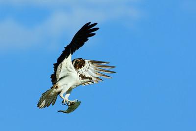 Osprey-263