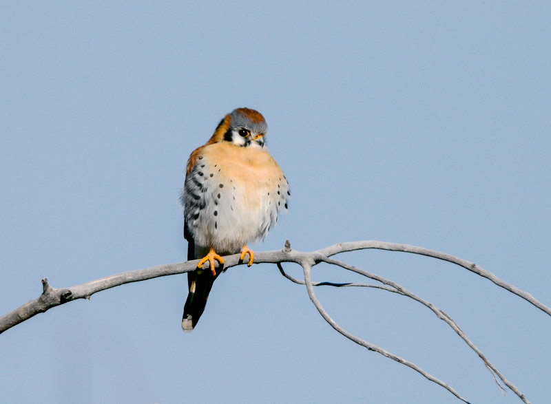 Am Kestrel