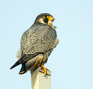 Peregrine finishing breakfast