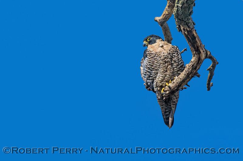Falco peregrinus on tree limb in wind 2017 10-20-Sacramento NWR-139