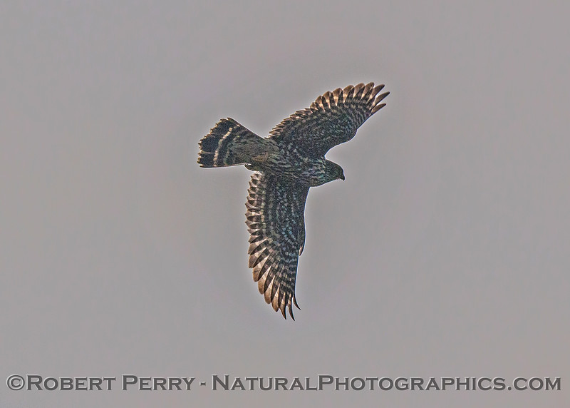 Falco peregrinus on power line 2016 12-05 Sac & El Dorado Cnty-030