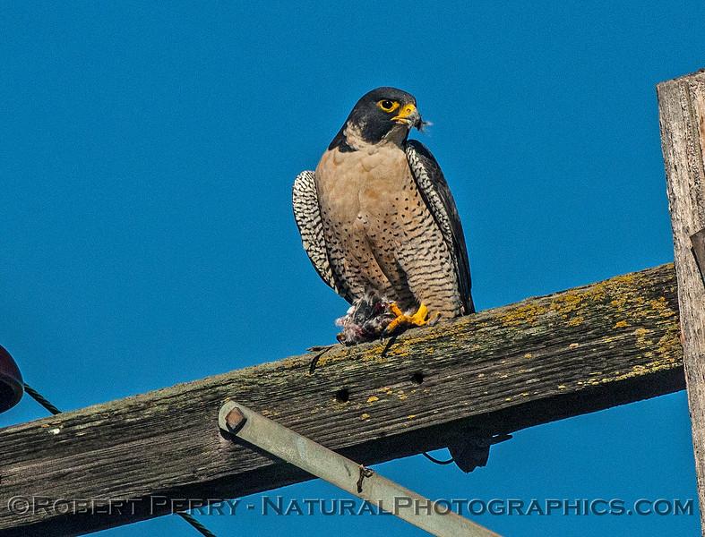 Falco peregrinus peregrine falcon FEEDING 2016 12-27-Staten Island - Delta -c-407