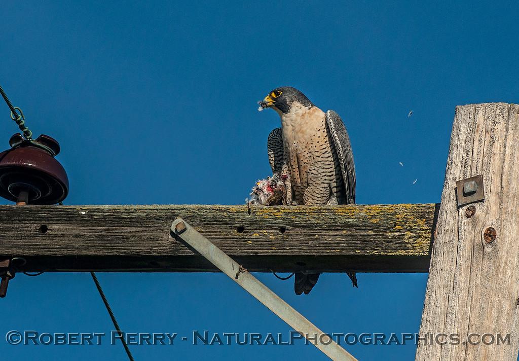 Falco peregrinus peregrine falcon FEEDING 2016 12-27-Staten Island - Delta -c-456