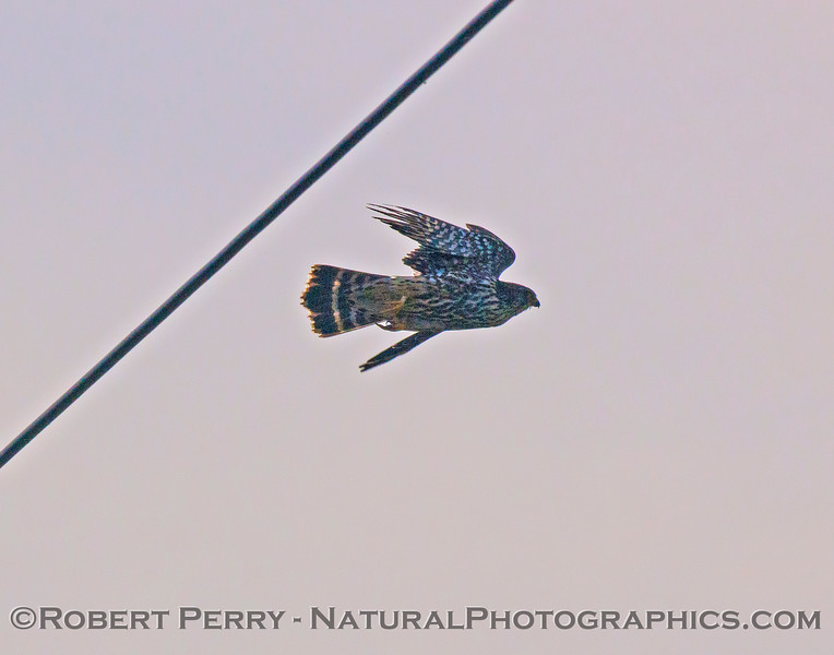 Falco peregrinus on power line 2016 12-05 Sac & El Dorado Cnty-029