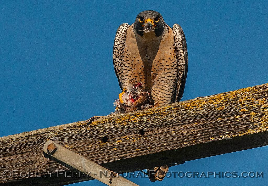 Falco peregrinus peregrine falcon FEEDING 2016 12-27-Staten Island - Delta -c-440