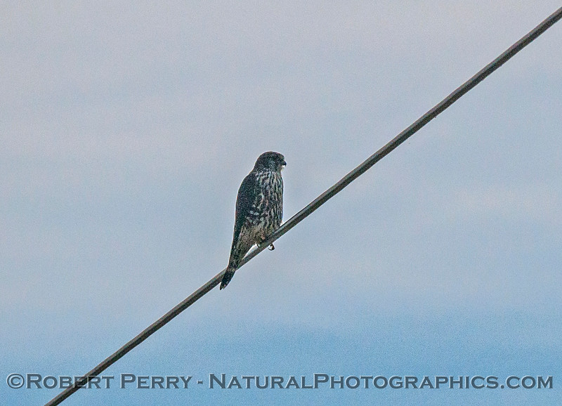 Falco peregrinus on power line 2016 12-05 Sac & El Dorado Cnty-013