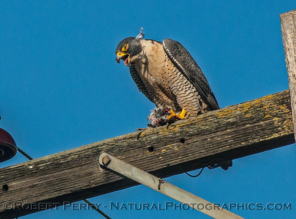 Falco peregrinus peregrine falcon FEEDING 2016 12-27-Staten Island - Delta -c-361