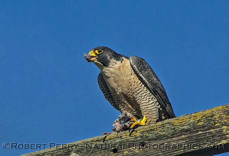 Falco peregrinus peregrine falcon FEEDING 2016 12-27-Staten Island - Delta -c-419