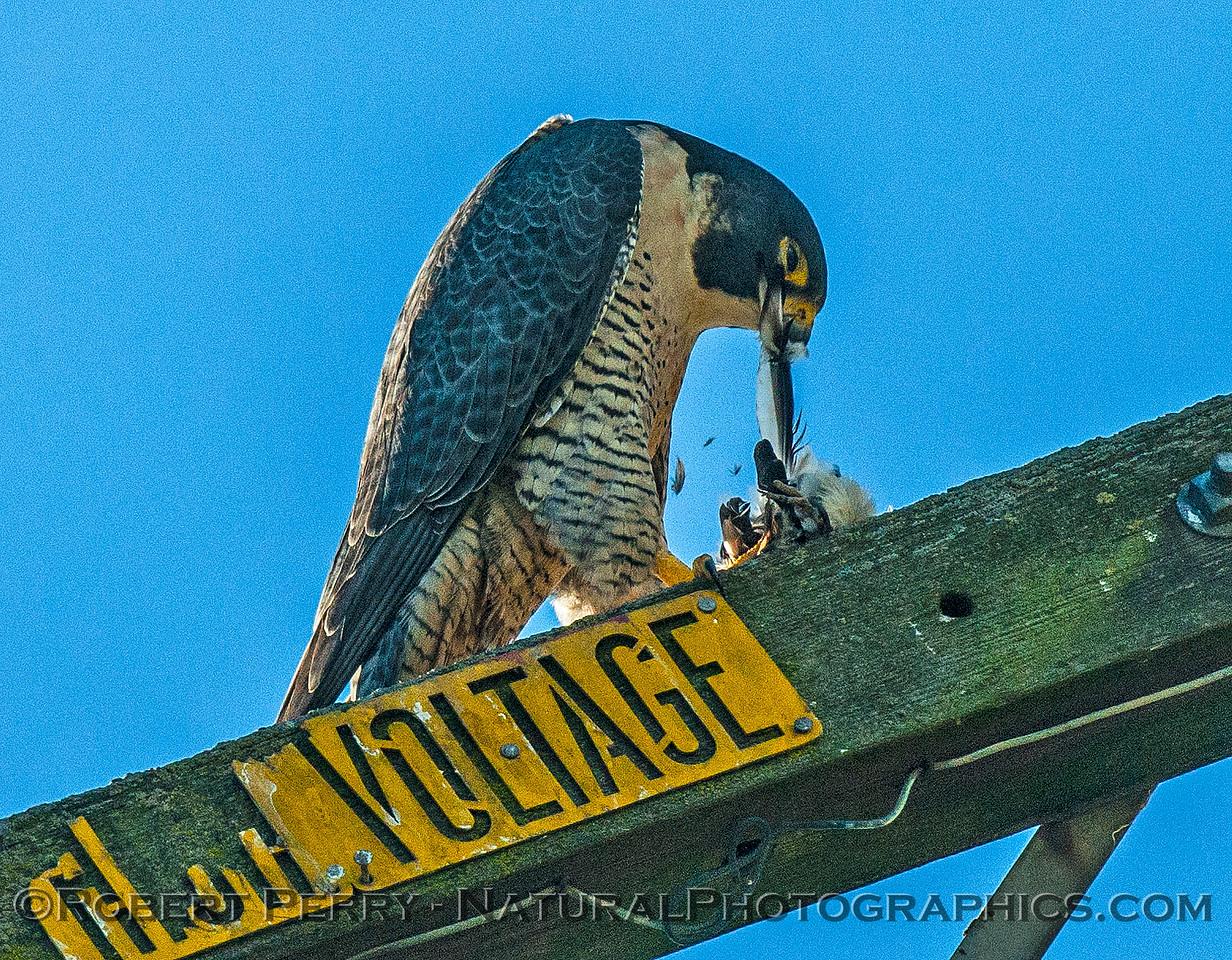 Falco peregrinus peregrine falcon FEEDING 2016 12-27-Staten Island - Delta -c-313