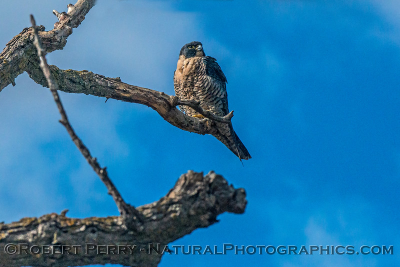 Falco peregrinus on tree limb in wind 2017 10-20-Sacramento NWR-058