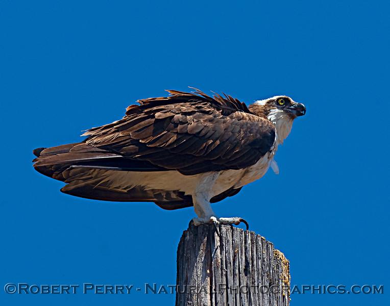 Pandion haliaetus Osprey nests 2021 07-02 Glenn Cnty--429