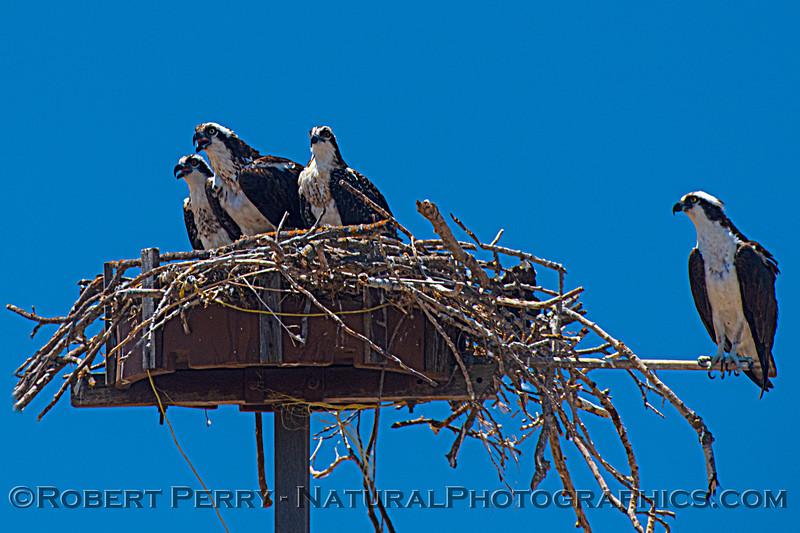 Pandion haliaetus Osprey nests 2021 07-02 Glenn Cnty--030