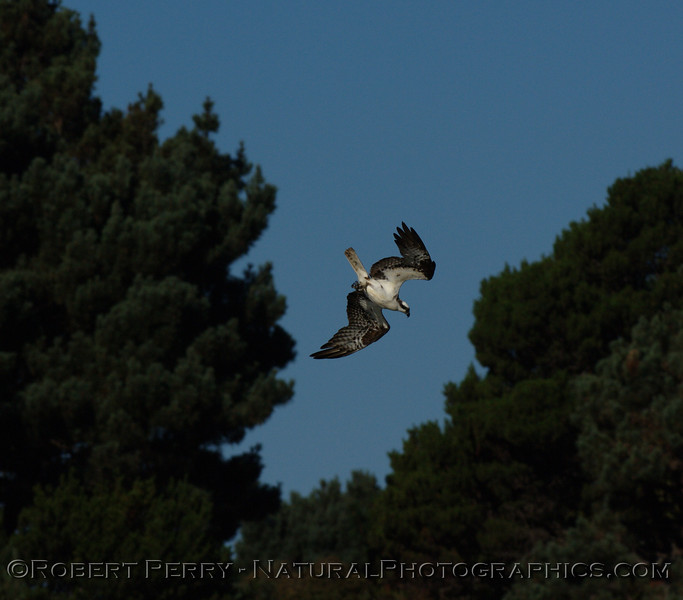"""A series of NorCal Ospreys (Pandion haliaetus) from the Mendocino area.  Click on the """"Map This"""" button on the top right and see the location."""