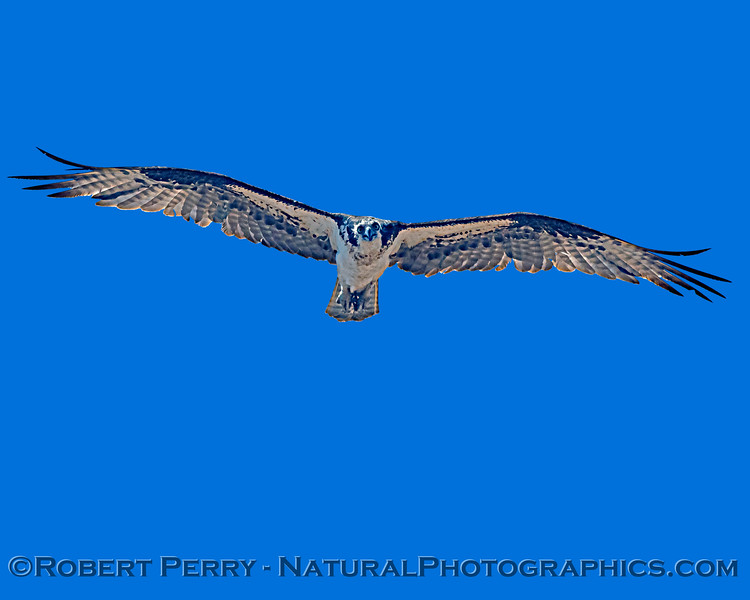 Pandion haliaetus 2021 05-28 Black Butte Lake--263
