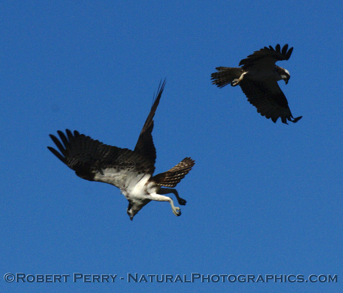 "A series of NorCal Ospreys (Pandion haliaetus) from the Mendocino area.  Click on the ""Map This"" button on the top right and see the location.  It should be noted that during the many hours I watched and photographed at least 9 different individuals, they did not interact with each other except for their constant vocalizations."
