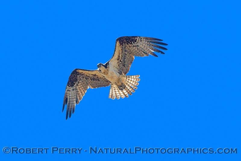 Pandion haliaetus BIG FILE 2021 05-28 Black Butte Lake--268