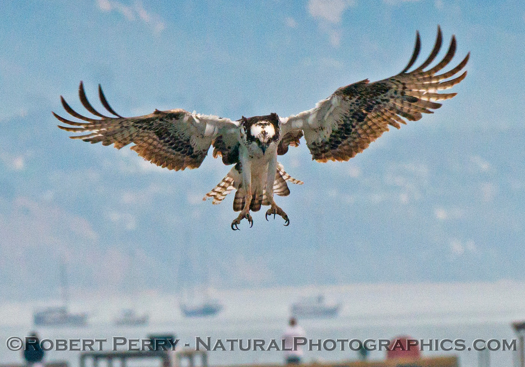Osprey, Santa Barbara Harbor.