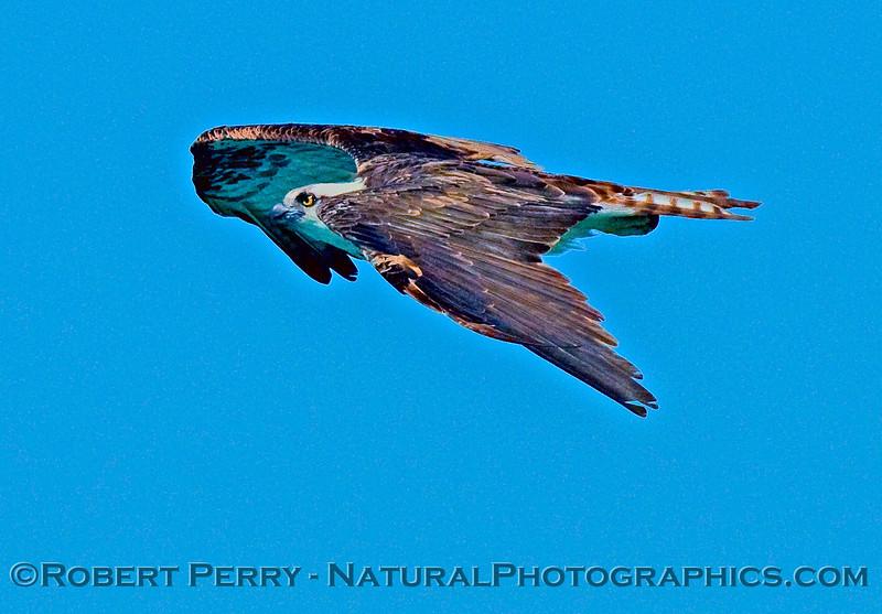 Pandion haliaetus in flight 2009 03-15 Laguna Guerrero Negro Baja 81981