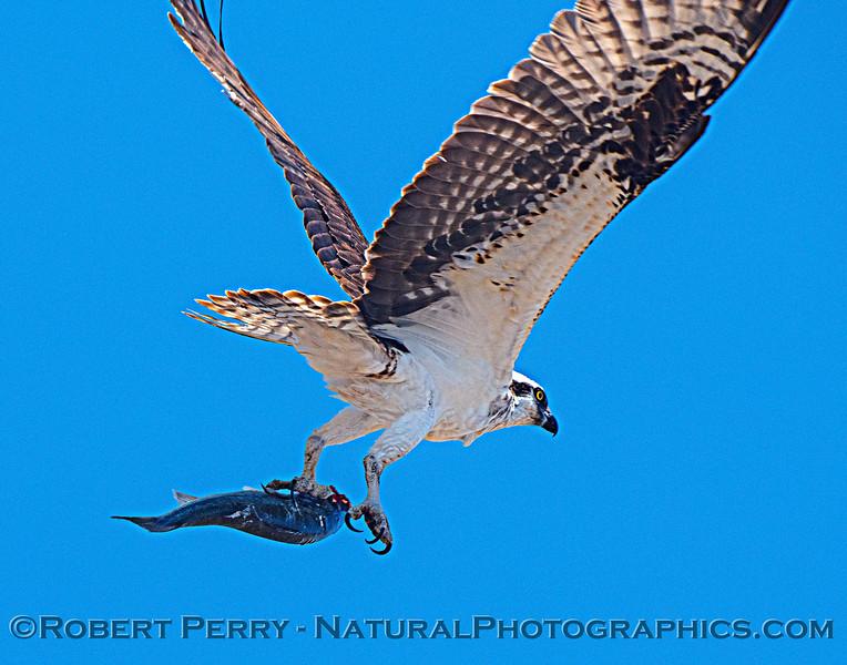 Pandion haliaetus Osprey in flight carrying fish 2021 07-02 Glenn Cnty--611