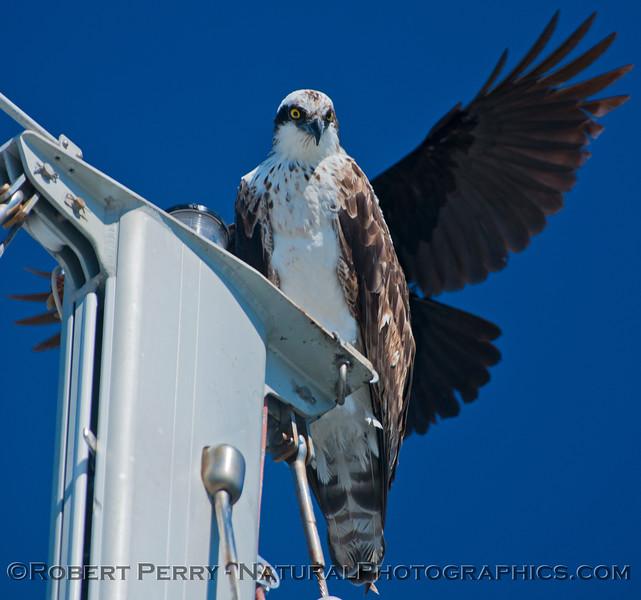 Pandion haliaetus on masthead & Corvus 2013 03-10-SB Harbor-147
