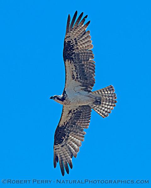 Pandion haliaetus VERTICAL 2021 05-28 Black Butte Lake--224