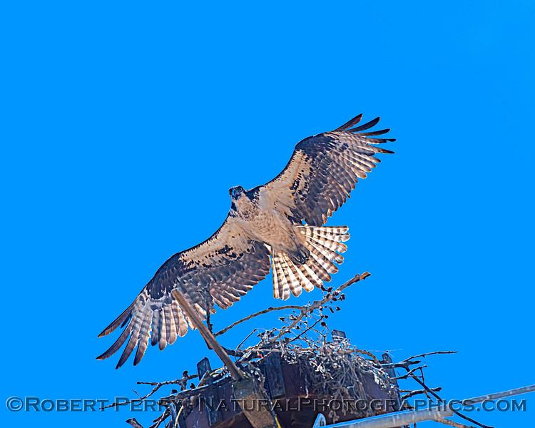 Pandion haliaetus in flight near nest 2021 05-28 Black Butte Lake--003