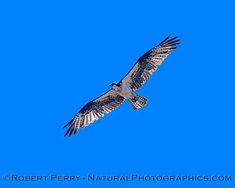 Pandion haliaetus 2021 05-28 Black Butte Lake--097