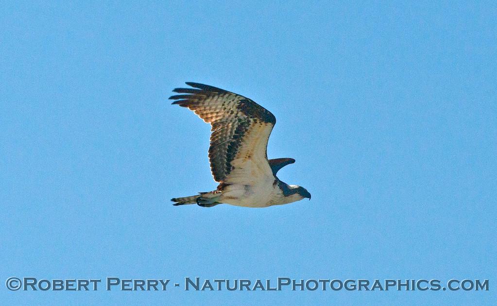 Pandion haliaeetus in flight 2014 02-20 Zuma--010