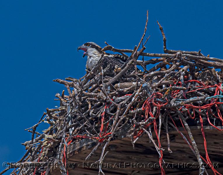 Pandion haliaetus Osprey in nest 2021 07-26 Stony Creek Bridge--059