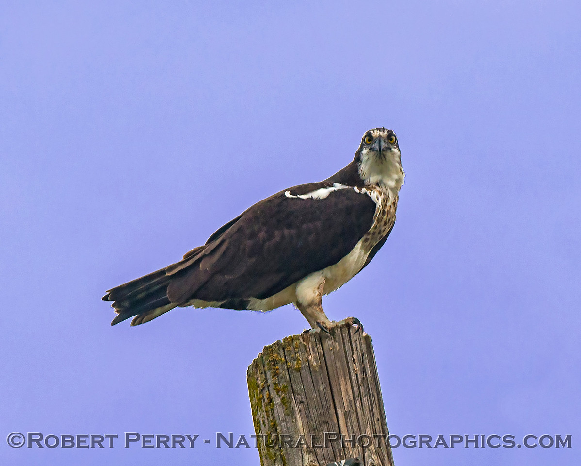 Pandion haliaetus on telephone pole with fish 2018 01-21 Meiss Rd--028