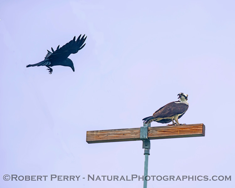 Pandion haliaetus & Corvus brachyrhynchos on telephone pole with fish 2018 01-21 Meiss Rd-b-002
