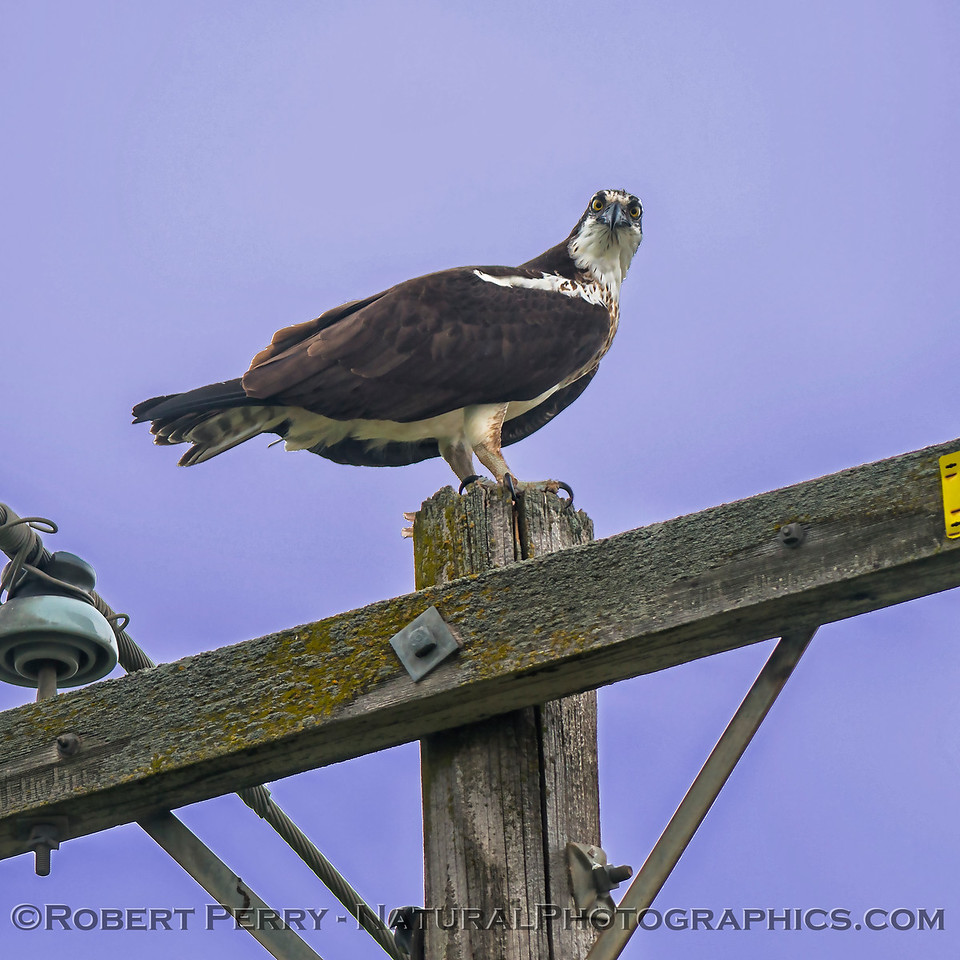 Pandion haliaetus on telephone pole with fish 2018 01-21 Meiss Rd--155