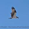 Pandion haliaeetus in flight 2014 02-20 Zuma--013