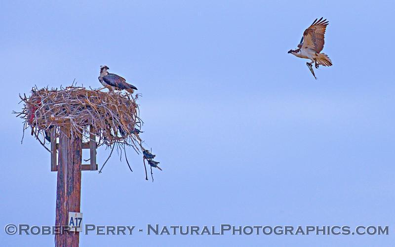 Pandion halieatus - osprey carrying fish to nest -2009 03-14 Guerrero Negro Baja - 210