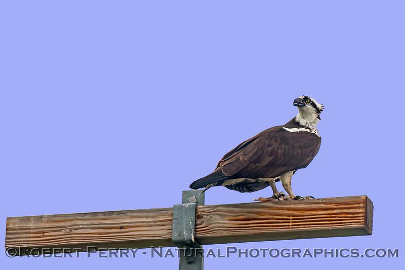 Pandion haliaetus & Corvus brachyrhynchos on telephone pole with fish 2018 01-21 Meiss Rd-b-001