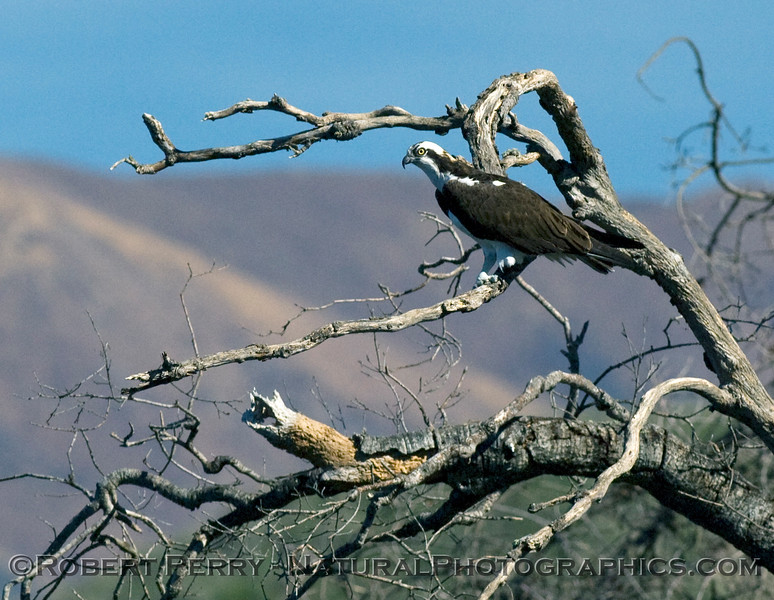 An Osprey (Pandion haliaetus) perched on a dead branch alongside Lake Cachuma, keeps a watchful eye out for fish.